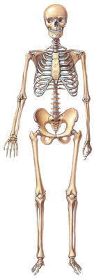 how many bones do we have?, Skeleton