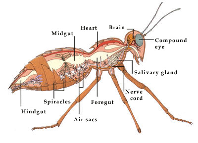 Antenna furthermore Cockroach1 also 238 also Anatomy together with Lice Pictures. on ant parts diagram