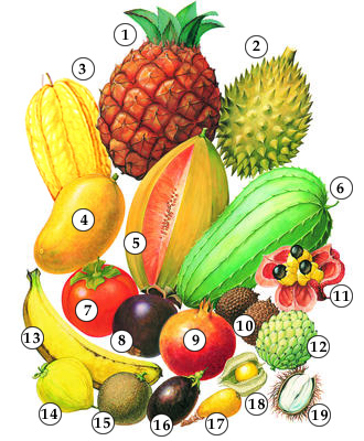 phytochemicals found in the tropical pineapple The pineapple reached england in 1660 and began to be grown in greenhouses for its fruit around 1720 adaptation: the pineapples is a tropical or near-tropical plant, but will usually tolerate brief exposures to 28° f prolonged cold above freezing retards growth, delays maturity and causes the fruit to be more acid.